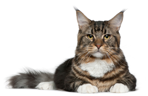 Maine Coon cat, 9 months old, lying in front of white background