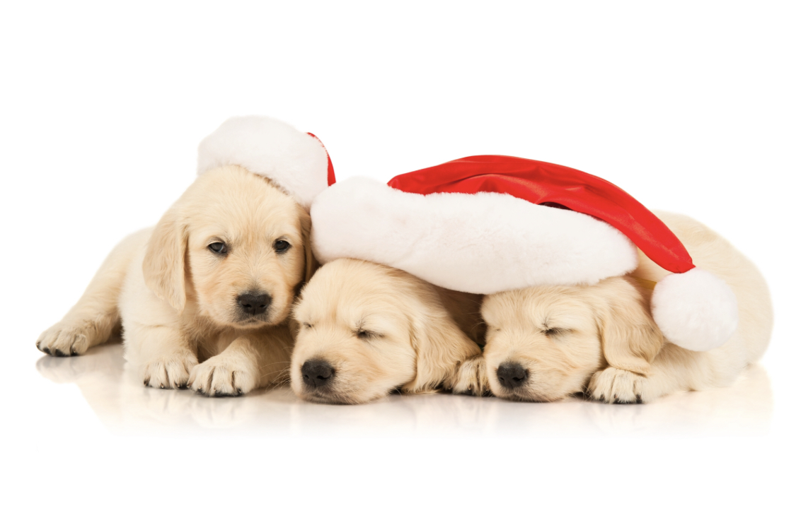 Adorable Holiday Puppies